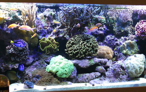 Can a turkey baster help you achieve healthy, thriving corals and a relatively algae free tank?