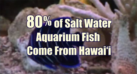 According to the Pacific Fisheries Coalition (a project of the Hawaii Audubon Society), 80% of Saltwater Aquarium Fish Come From Hawai'i.  REALLY?