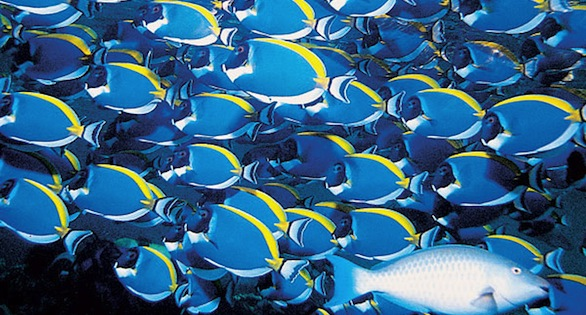 Shoal of Powder Blue Tangs, Acanthurus leucosternon, in the Maldives, photographed in 1979.