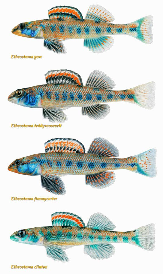 The newly described Presidential Darters, members of genus known for ...