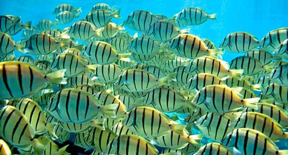 Convict Tangs are not on the White List for aquarium collection, but are a target for spearfishers.