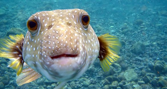 White-spotted Puffer, Arothron hispidus, nuzzles the photographer's camera on a reef off the Big Island of Hawaii. Image: Brocken Ingaglory/GNU.