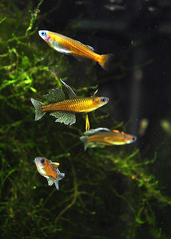Pseudomugil gertrudae - image by Matt Pedersen, 2013