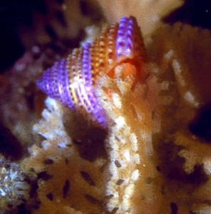 Calliostoma annulatum, purple top shell eating the bryozoan Phidalopora labiata