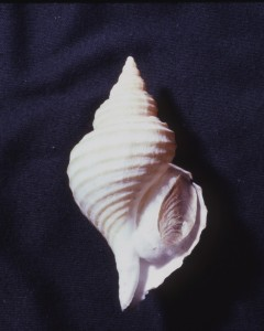 The Lyre Whelk, this specimen is from Puget Sound.