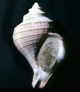 Neptunea pribiloffensis, the Pribiloff Whelk
