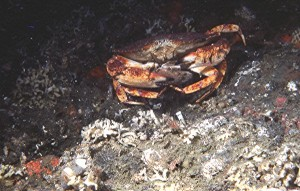 A red rock crab eating a scallop