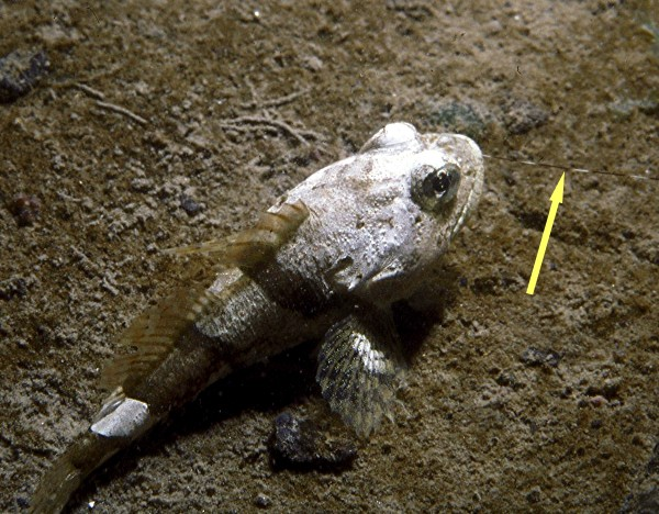 A buffalo sculpin which has eaten a shrimp.