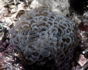 Euphyllia anchora