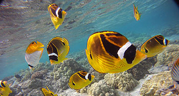 Butterflyfishes on the west coast of the Big Island of Hawaii where aquarium collectors are active. Image by Eric Sorensen, WSU.