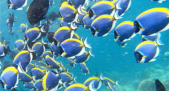 Swarms of tangs, dominated by Powder Blue Surgeonfish, Acanthurus leucosternon.