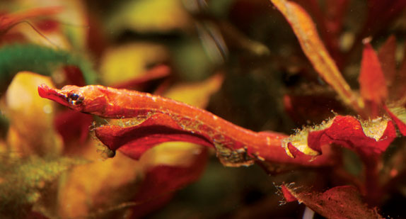 New, red captive-bred African Freshwater Pipefish. Image by Mike ...