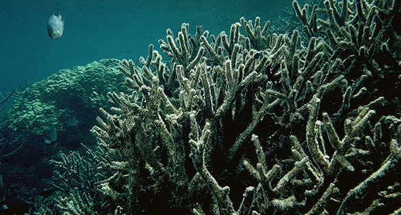 Following the bleaching event in 1998, 70-90% of stony corals were killed in the Scott Reef area 300 km off northwest Australia.