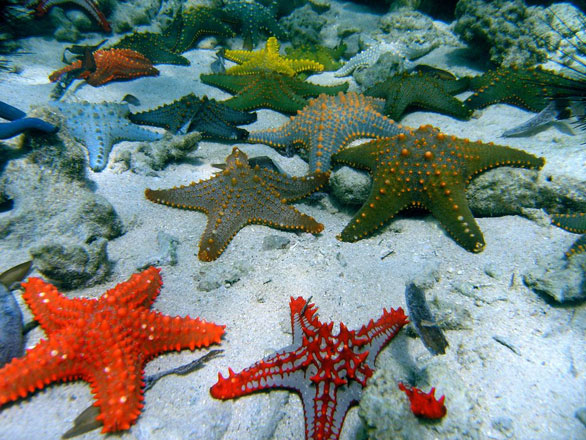 Starfish diversity. Image copyright © Tim McClanahan.