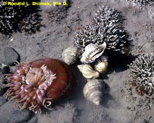 Snails laying eggs near a sea anemone