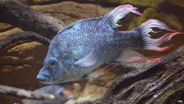 Male of the critically endangered Mangarahara Cichlid, Ptyochromis insolitus - image: ZSL