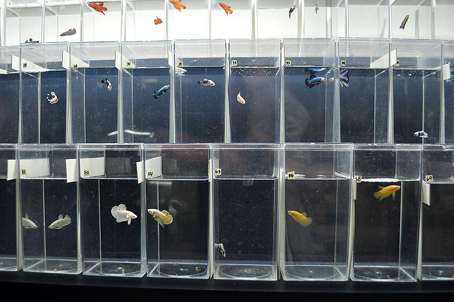 A selection of male Halfmoon Plakat (short fin) bettas at The Betta Shop.