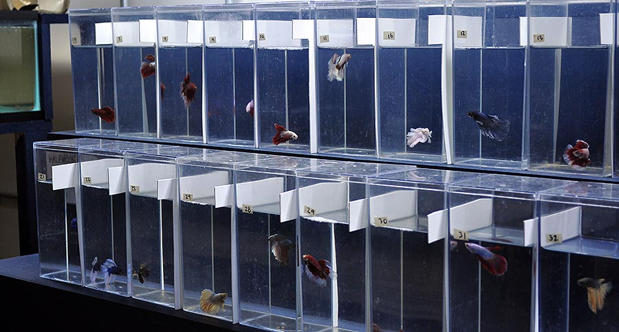 A selection of male Halfmoon Bettas at The Betta Shop.