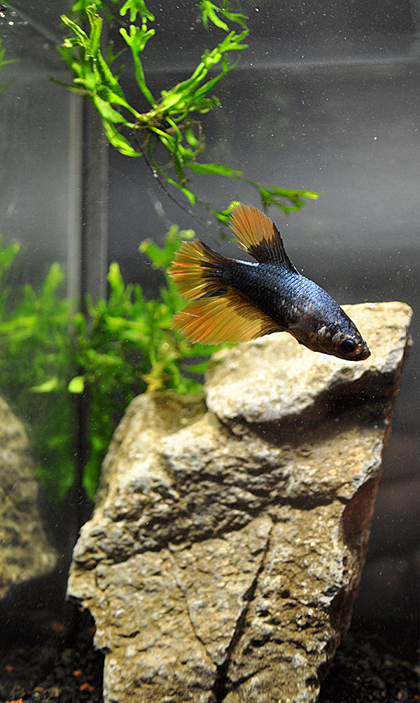 Ethan's second betta, a Orange/Yellow and Blue Halfmoon Plakat.