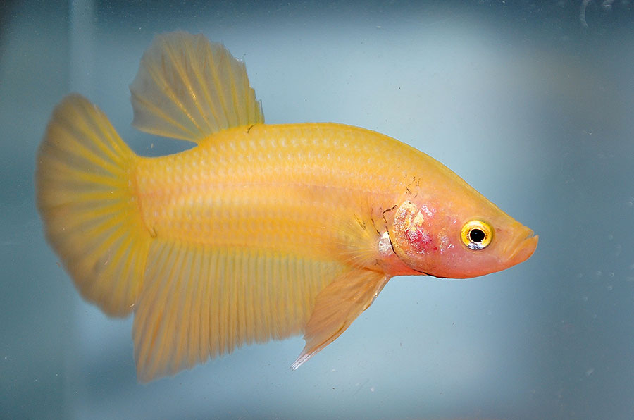 Young male yellow half moon plakat betta, this one named Swimmy