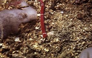 A Canadian Tubulaus albocinctus