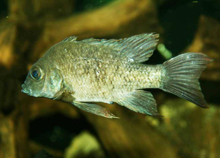 Female of the critically endangered Mangarahara Cichlid, Ptyochromis insolitus - image: Berlin Zoo