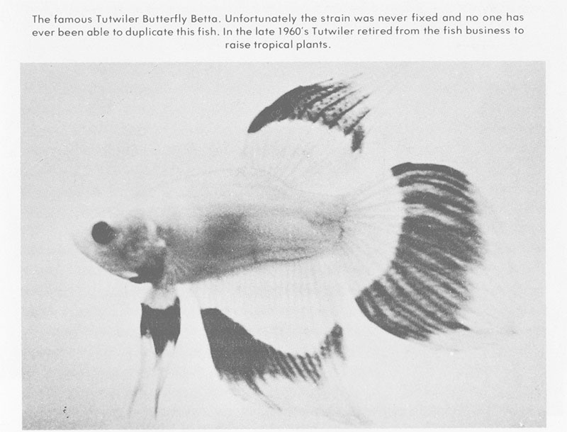 The Tutwiler Butterfly Betta as I first encountered it as a child in the Encyclopedia of Tropical Fishes, 1986 edition, by Axelrod & Voderwinkler