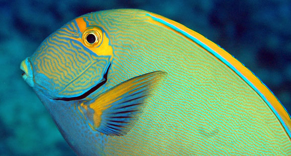 The Ringtail Surgeonfish, Acanthurus blochii, an Indo-Pacific species that reaching 17 inches (45 cm) in length. Image by Robert M. Fenner.