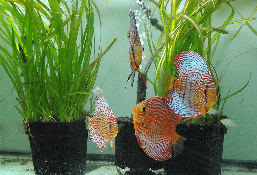 Some of the Discus residing in Watson's fishroom.