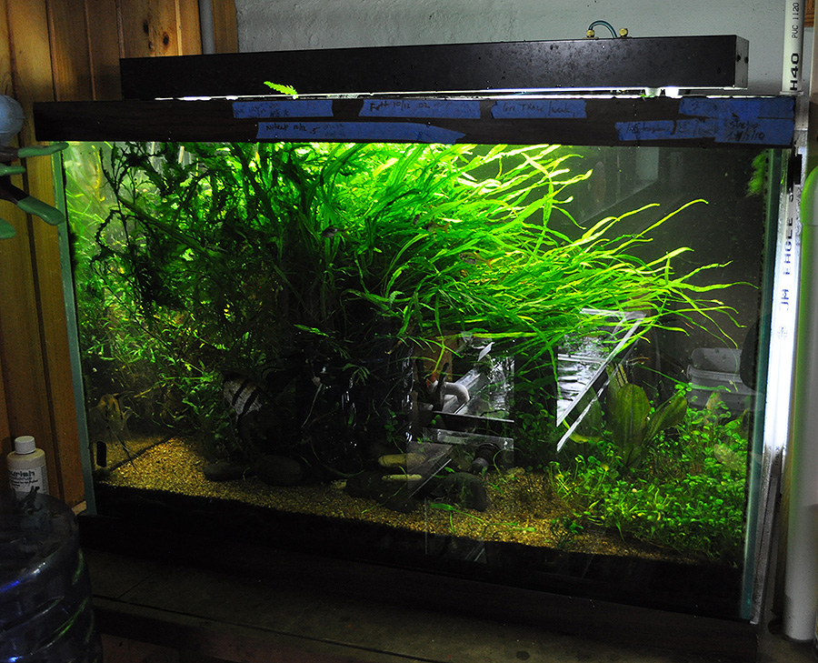 A heavily grown-in planted tank in Watson's fishroom, as it appeared last November.