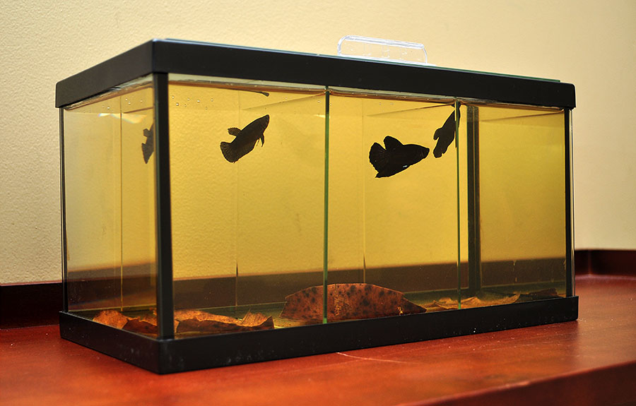 A Halfmoon Plakat Female, Halfmoon Plakat Male, and a Halfmoon Female, all reside in a 3-way Deep Blue Betta Tank.