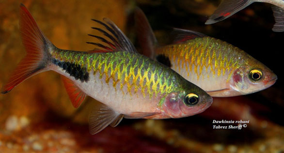 Dawkinsia rohani. Image by Tabrez Sheriff posted on the Kolkata Aquarium Club site.