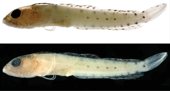 Haptoclinus dropi, sp. n., holotype, USNM 414915, 21.5 mm SL, female. Both photographs were taken after the fish was in preservation for several months, the top image against a white background, the bottom against a black background. Photographs by Ian Silver-Gorges.
