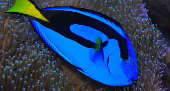 The Poster Child of the Tang Police: Paracanthurus hepatus is actually very site-specific and not range as widely over the reef as do other tang species.