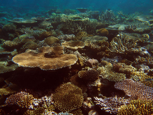 Fiji's Moala coral gardens, June 2013. Image by Dr. Andy Bruckner, Global Reef Expedition.