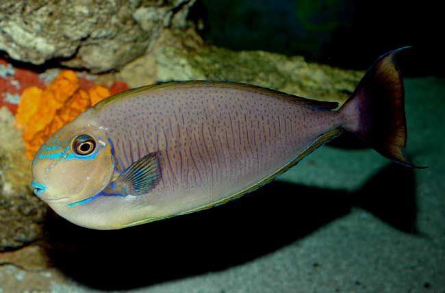 Some species such as this Spotted Unicornfish, Naso brevirostris, have more open-water habits and grow quite large. These DO require large aquariums.