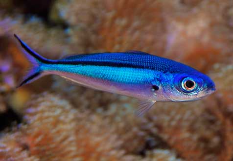 This Neon Fusilier, Pterocaesio tile, is an open-water swimmer that needs more room than any tang, yet the Tang Police never seem concerned about it and other wide-ranging species and genera.