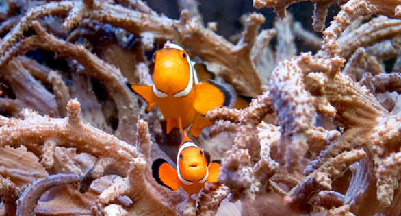 A pair of Tank Raised clowns nestle amongst the arms of a leather coral, Inside the 90 gallon reef tank at the Walnut St. Christian School.