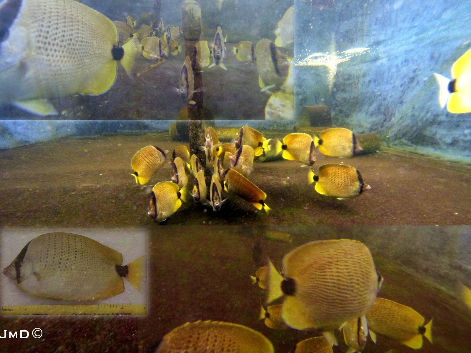 Milletseed Butterflyfish Broodstock, Chaetodon miliaris, at University of Florida's Tropical Aquaculture Laboratory