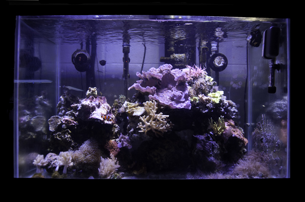 A reef tank with zero initial impact on the Oceans, the 65 gallon reef at Lake Lehman Jr. Sr. High School was set up with seeded dry rock, propagated coral frags, and tank raised clownfish.
