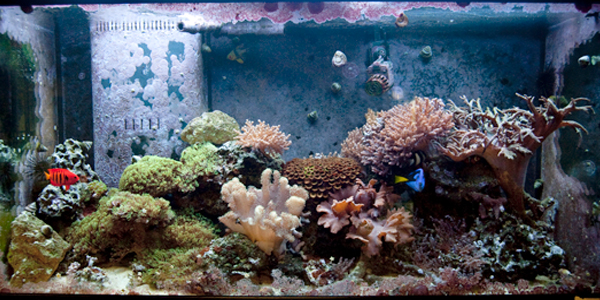 Full tank shot of the Walnut St. Christian School's reef aquarium.