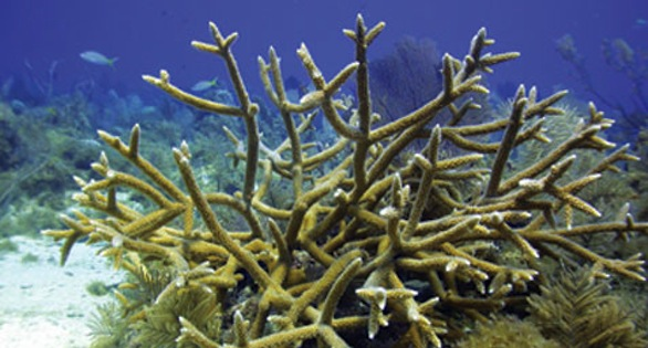 FIve-year-old transplanted Staghorn Coral displaying rapid growth potential.