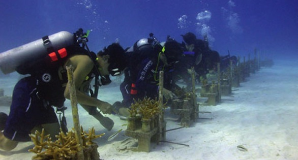Volunteers cleaning farmed colonies of Acropora cernivornis.