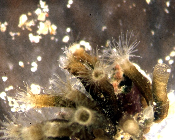 Group of Nausithoe polyps