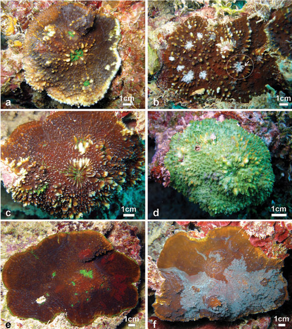 Variation of shape, spikiness of septa and costae, and colouration of large colonies Echinophyllia tarae sp. n. observed in situ. A: Brown encrusting colony with free margins, bright green oral discs and raised corallites, Akamaru Island. B: Brown encrusting colony with white oral discs, raised corallites (larger one in the stippled circle), and very spiky costae, Taravai Island, the prominent crown of paliform lobes of the largest corallite is indicated by the white arrow C: Brown knob-shaped colony with bright green oral discs and raised corallites, note the white colouration of the tips of costae teeth, Taravai Island. D: A bright-green knob-shaped colony, Taravai Island. E: Brown encrusting colony with bright-green oral discs and relatively low-lying corallites, note the uniform colouration of the costae, Taravai Island. F: mottled brown encrusting colony with free margins and relatively low-lying corallites, note the uniform colouration of the costae, Taravai Island.