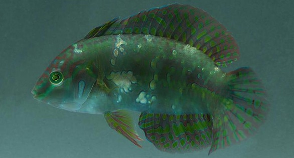 The Golden Nugget Wrasse, just arrived from EcoAquariums Papua New Guinea.