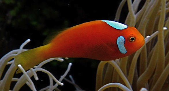 A rarity found in PNG is the Whitebonnet Anemonefish, Amphiprion leucokranos, a likely hydrid of A. sandaracinos and A. chrysopterus.