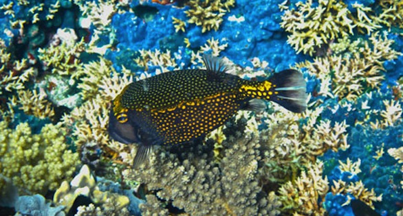 Spotted Boxfish, Ostracion meleagris, on a PNG reef in a collection area.