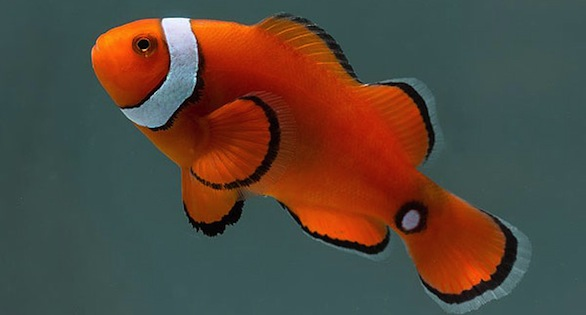 Misbarred PNG Percula Clownfish with caudal eyespot.