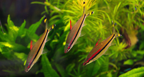 Standard Redline Torpedo Barbs, classicly sleek fish now being aquacultured in large numbers as wild stocks are depleted.